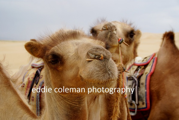 camel close-up - MTGD4 8